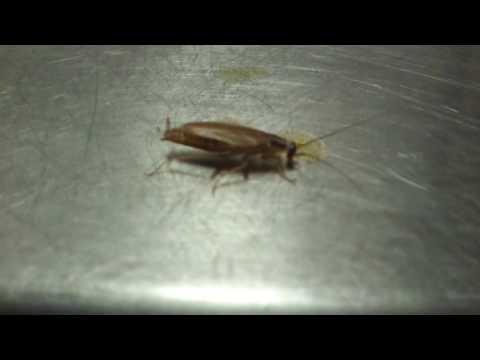 Таракан на кухне в Иль Патио.