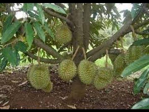 Teknik Sambung Samping Durian Agar Berbuah Lebat