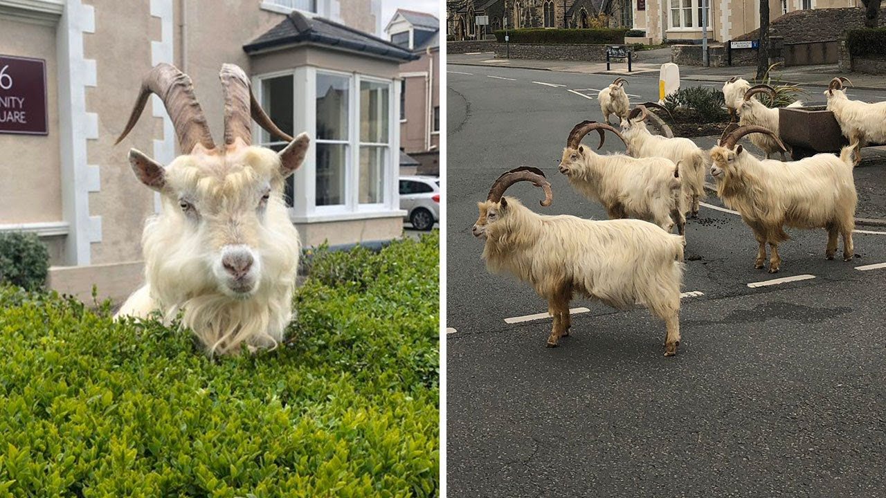 Goats in Llandundo in North Wales