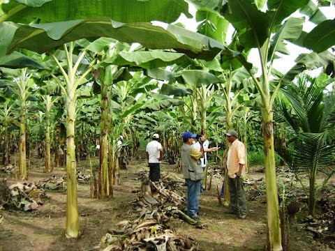 Manejo de Cultivos de Platano en Atalaya - Perú - TvAgro por Juan Gonzalo Angel