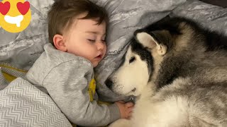 Baby Demands His Huskies To Help Him Fall Asleep! [TRY NOT TO SMILE]