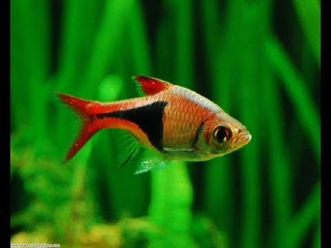 Top 20 Fish For Planted Aquariums  (Aquascaping)