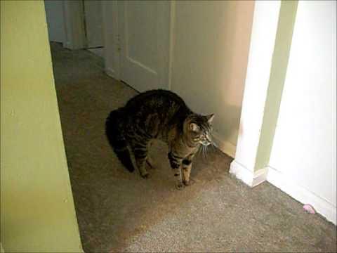tabby tuxedo cat