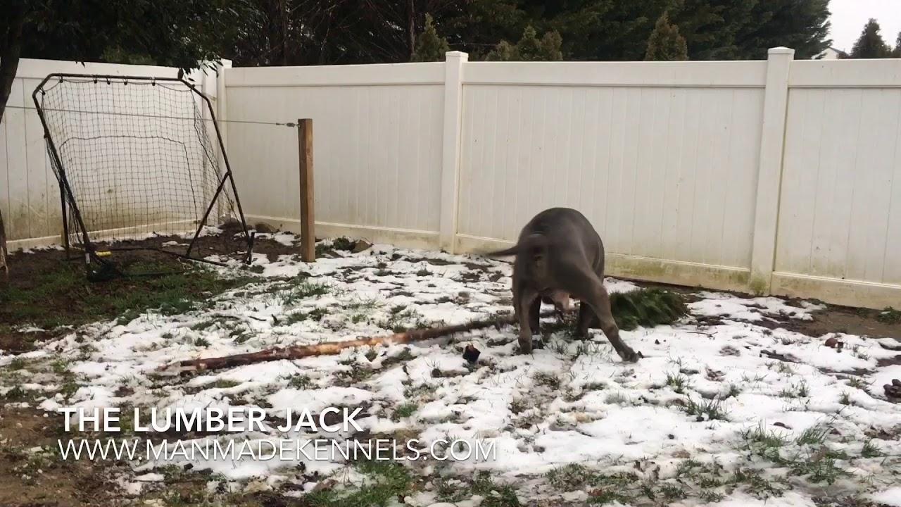 BIG DOGS LOVE TREES; XXL Bluenose Pitbull Chomps Tree in half! ManMade Kennels Pitbull Puppies