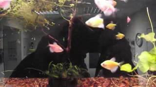 аквариумные рыбки карамельки - Тернеция Гло Фиш