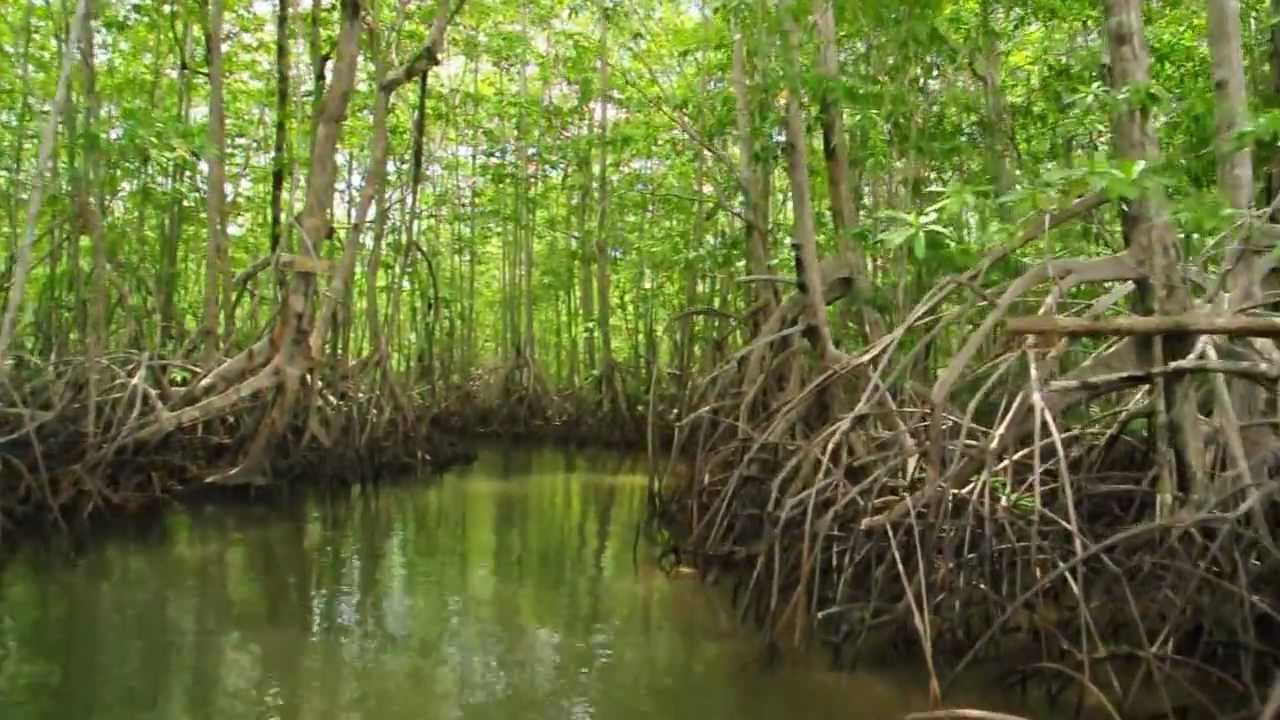 mangrove swamps Learn the definition of mangroves and mangrove swamps, where mangroves are located, and marine species you can find in mangroves.