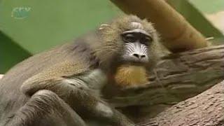 Охраняемые животные других стран: капуцин, колобус, мандрил, орангутан, горилла, гепард, ягуар