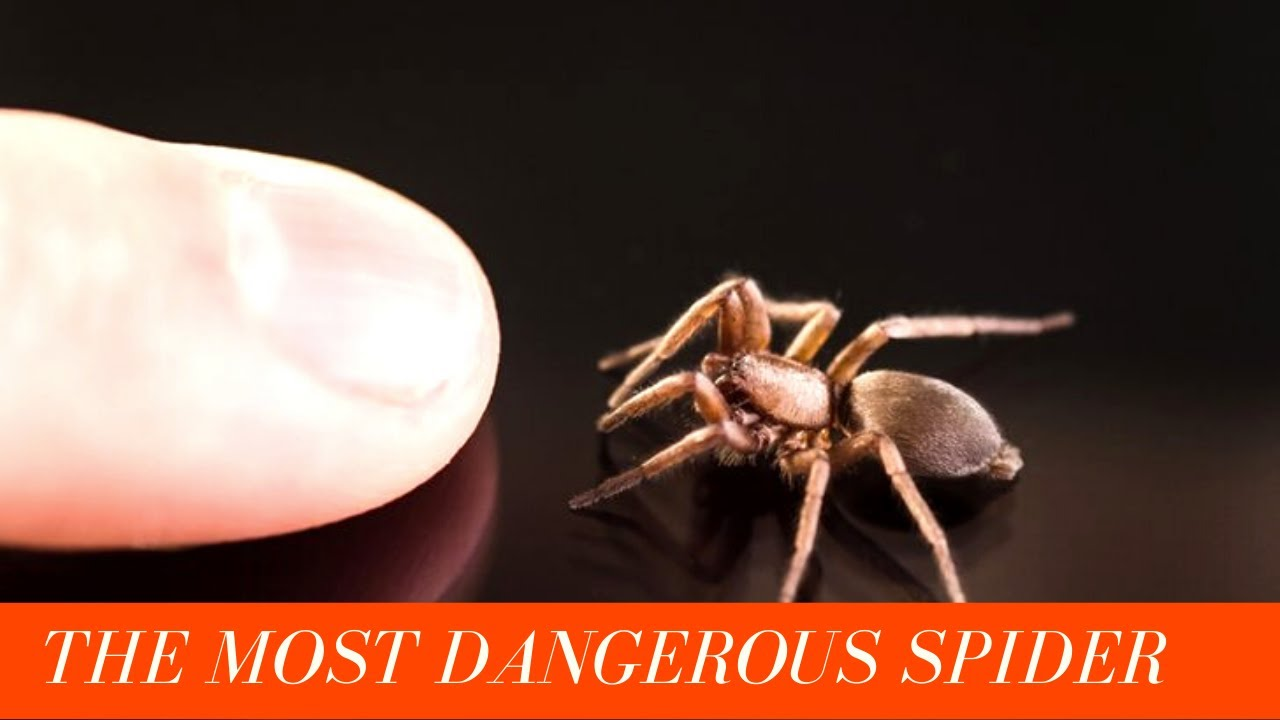 Download Top 10 most dangerous spiders in the world | most poisonous spiders in the world