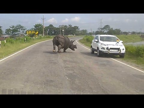 Rhino Charging Down Indian Highway