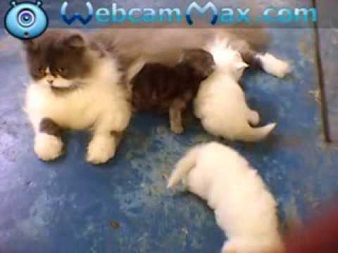 kucing comel sayang anak (kucing untuk dijual) - YouTube