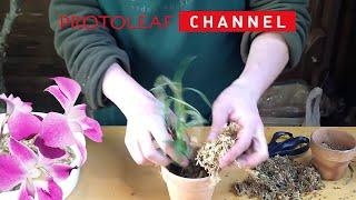 デンドロビウムの植え替え方 素焼き鉢と水苔編 thumbnail