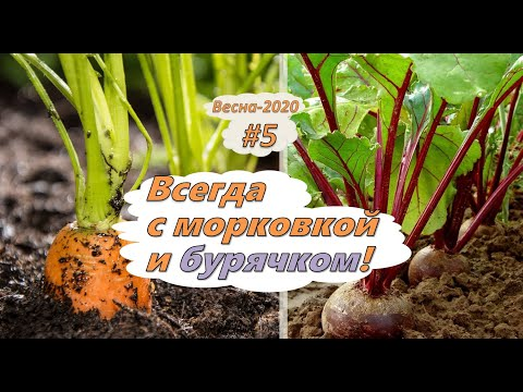Всегда с морковью и свеклой! Тонкости выращивания в органическом земледелии