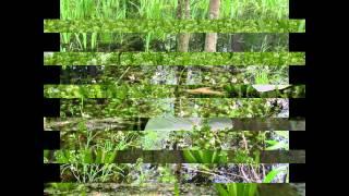 видео Семейство Болотниковые — Callitrichaceae.