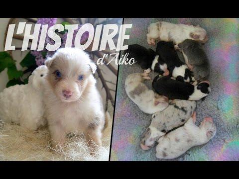 L'histoire d'Aiko... ♥ | Chiot berger australien rouge merle