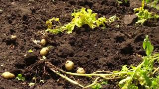 Картофель  Кто чем удобряет