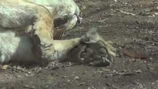 神奈川県のよこはま動物園ズーラシアのインドライオンの肉球のどアップ...