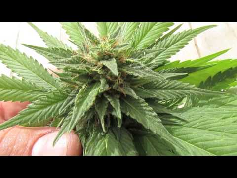 *˚* TOP SHOOTER *˚* House and Garden + Flowering Cannabis