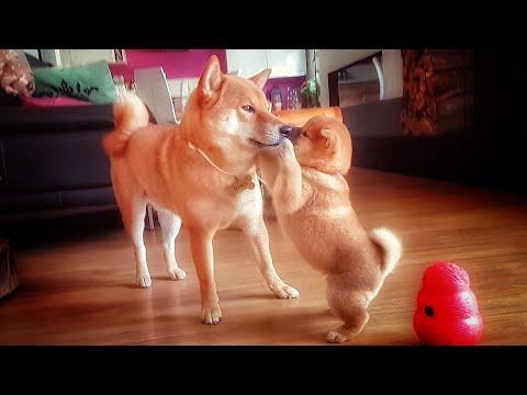 D pufecc son - MLIP / Ep 137 / Shiba Inu puppies