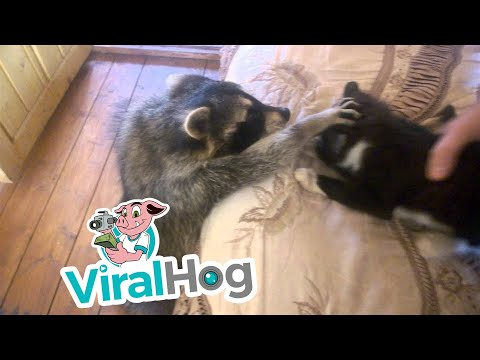 Raccoon Tries to Make Friends With Cat || ViralHog