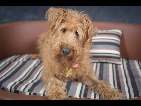 Frank - Irish Terrier - 4 Weeks Residential Dog Training