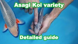 Asagi Koi Fish Variety – Development And Selection [KOI GUIDE]