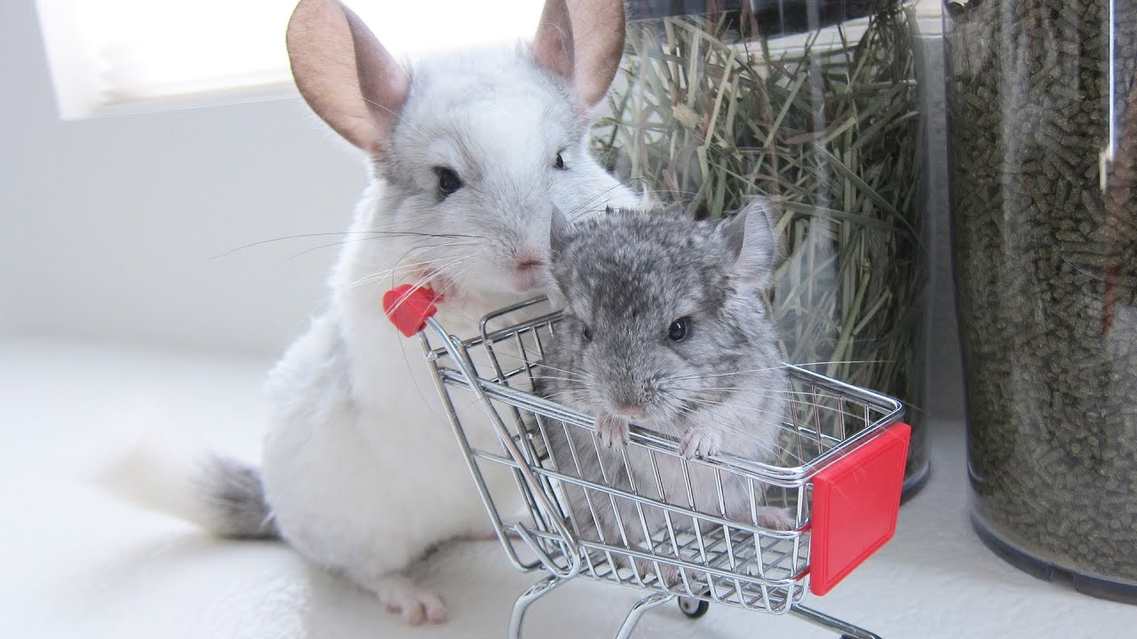 Chinchilla care - photo#33