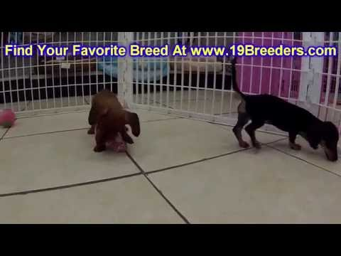 Miniature Dachshund Puppies Dogs For Sale In Mi Florida Fl 19breeders Tallah Ee