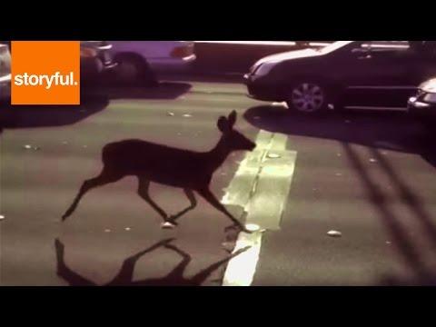 Deer Running Down the Golden Gate Bridge
