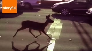 Deer Running Down the Golden Gate Bridge!