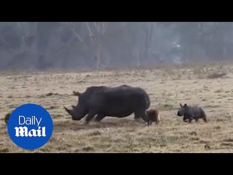 Mother rhino protects calves from two hungry hyenas in Kenya - Daily Mail