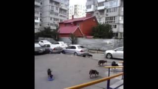 Собаки нападают на людей  14 сентября 2015  Ростов на Дону