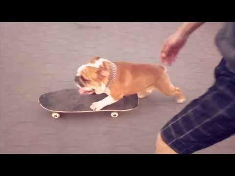 Skateboarding Bulldog Cartman in Central Park, NYC