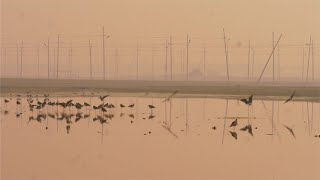 The Indian pond herons flying over the surface of the water of a large lake in India