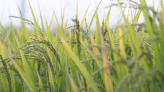 熊本 美里町 美しい棚田// Japan rice crops beautiful calm