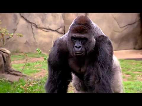 rip harambe gorilla full story till his murder gorilla shot dead