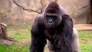 Download lagu RIP Harambe Gorilla full story till his murder - Gorilla Shot Dead to save a child