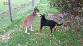 ► Собака и кенгуру. Дружба животных!