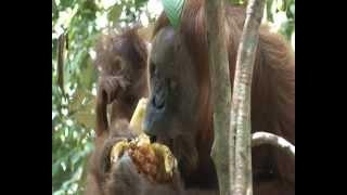 Indonesië , Sumatra, bohorok , Orang Utan ,orang-oetan ,