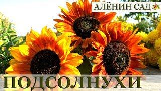 🌻 ПОДСОЛНУХИ - осколки солнечного дня... / Как вырастить подсолнухи / Sunflowers 🌻