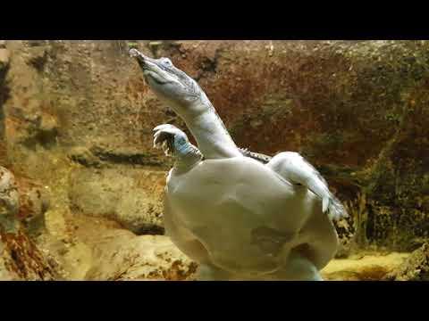Chinese softshelled turtle