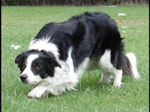 собака колли. фото