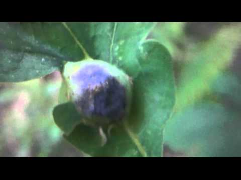 Leaf Galls on White Oak Tree ( Quercus alba )