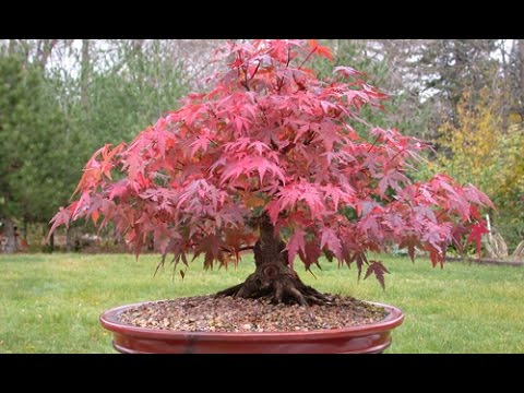 The Sugar Maple Bonsai Youtube