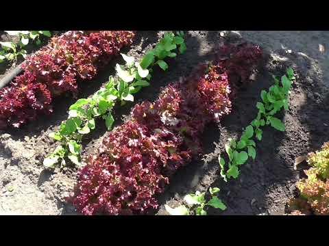 Опыт выращивания салата ЛОЛЛО РОССА, отличный салат!