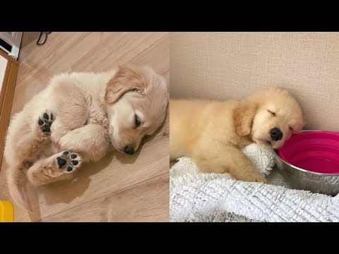 golden-retrievers-🐶-cute-and-funny-golden-retriever-videos-compilation-#4-🔴-adorable-pets
