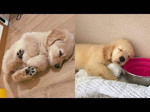 Golden Retrievers 🐶 Cute And Funny Golden Retriever Videos Compilation #4 🔴 Adorable Pets