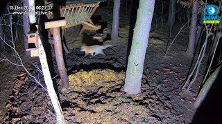 🥊 Starcie 🦊 🦊 lisów obok 🐾 karmiska w lesie na Podkarpaciu