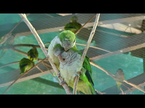 ЛЮБОВЬ И ПОПУГАИ Myiopsitta monachus попугай монах квакер калита