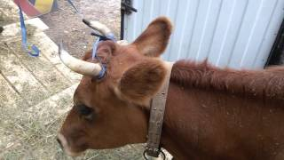 Погрузка и доставка коровы Джерсейки.