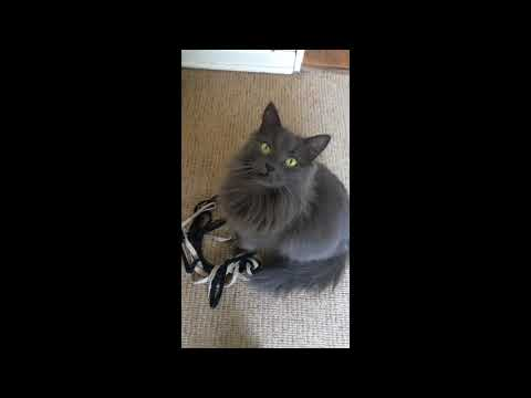 Cute Nebelung cat wants to play!